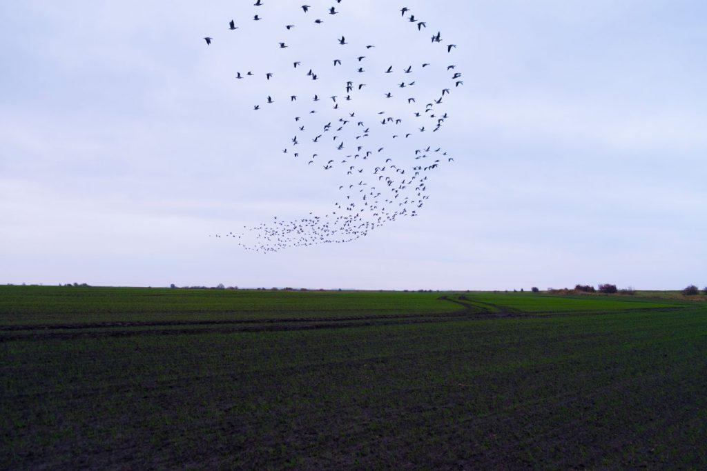 Zugvögel Rügen Ferienhof